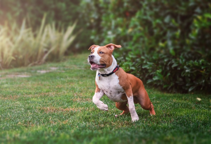 Chien American staffordshire terrier qui court dans l'herbe.
