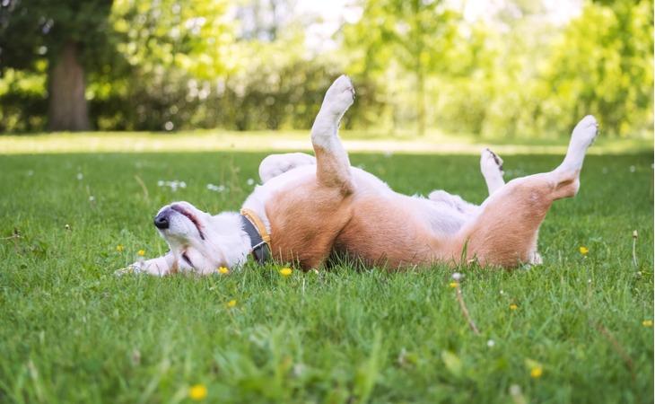 Beagle heureux allongé sur le dos dans l'herbe