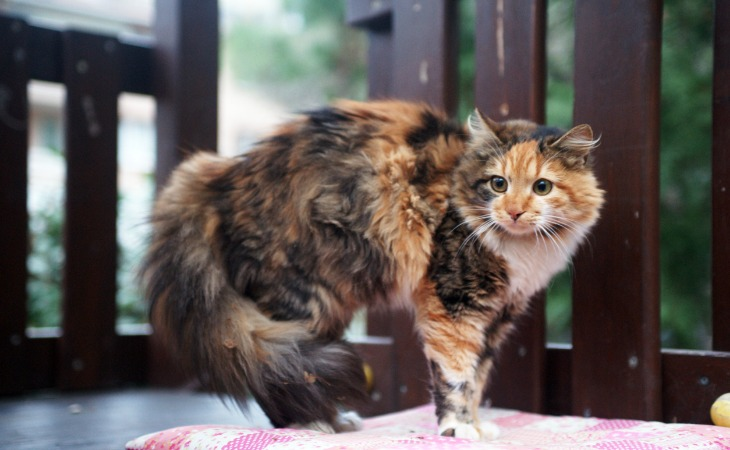 Chat avec la queue hérissée