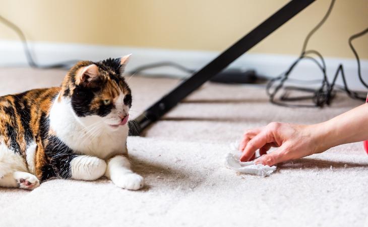 Chat calico qui vient de faire pipi sur la moquette
