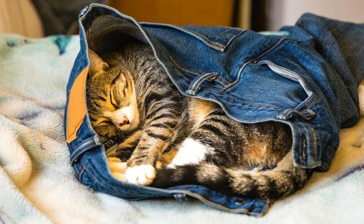 Chat endormi dans le jean de son propriétaire