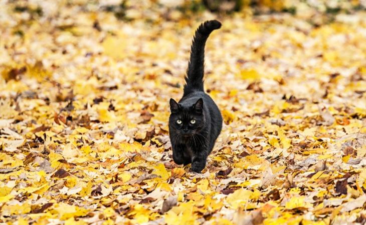 chat noir avec la queue levée