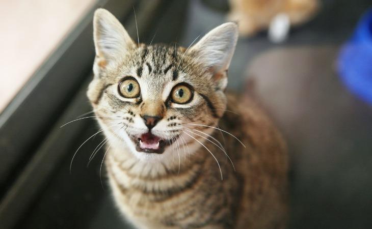 Chat qui miaule