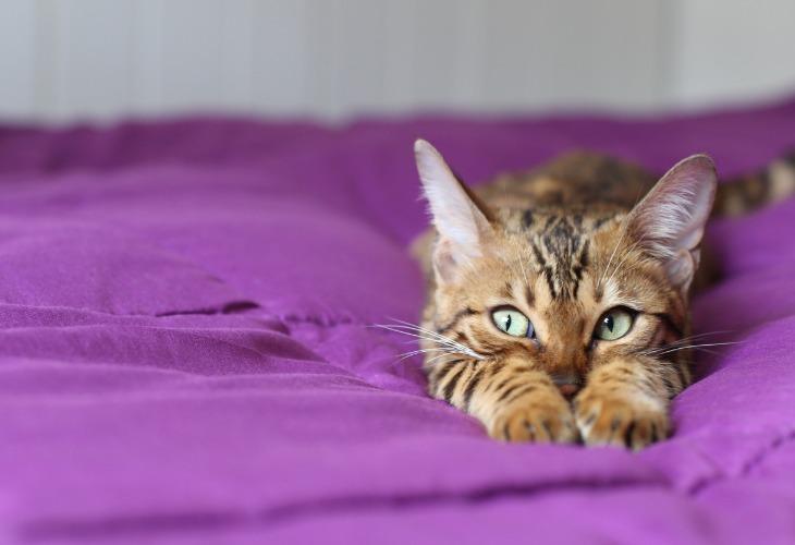 Portrait d'un chat de race Bengal.