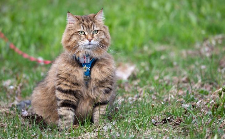 chat Sibérien qui porte un harnais