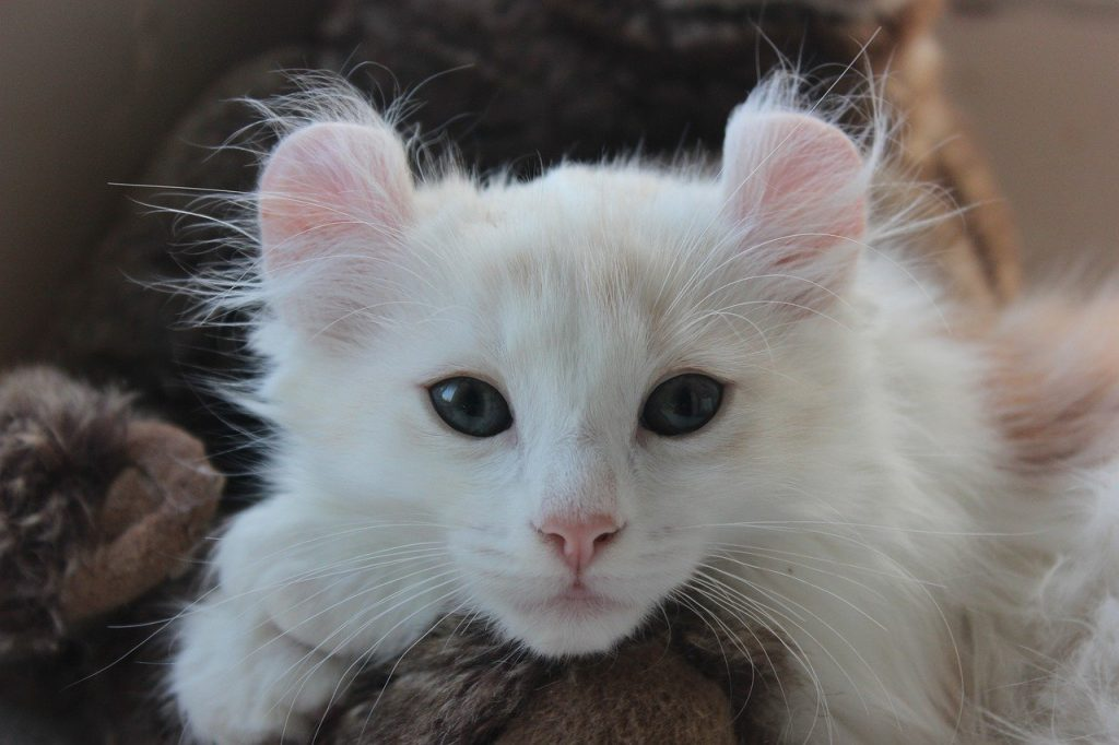 Chaton american curl blanc allongé.