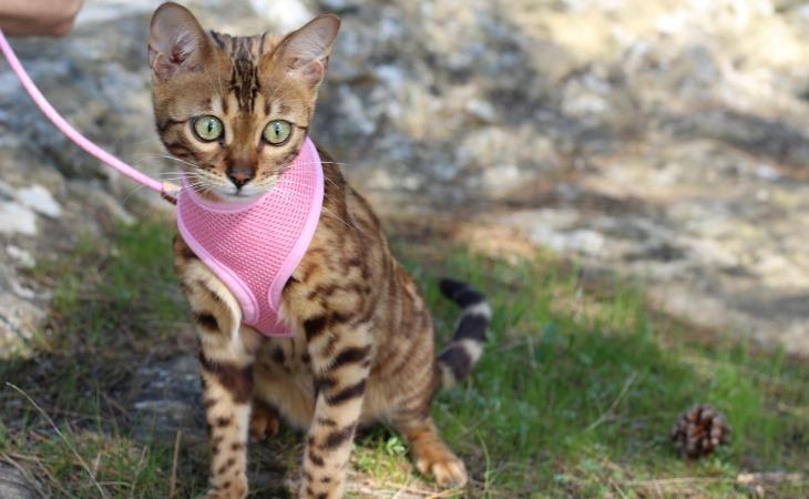 chaton avec son harnais