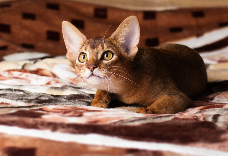 Chaton Abyssin joue sur le lit.