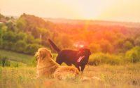 Les différences entre le Golden Retriever et le Labrador