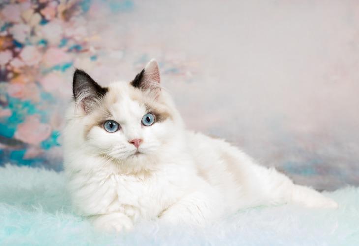 Chat Ragdoll blanc allongé.