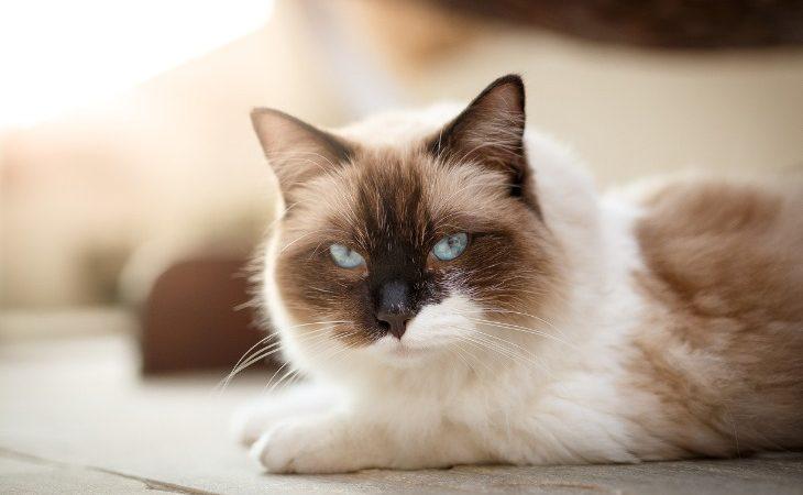Chat de race Ragdoll marron et blanc allongé.