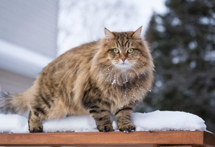 Chat Sibérien dans la neige.