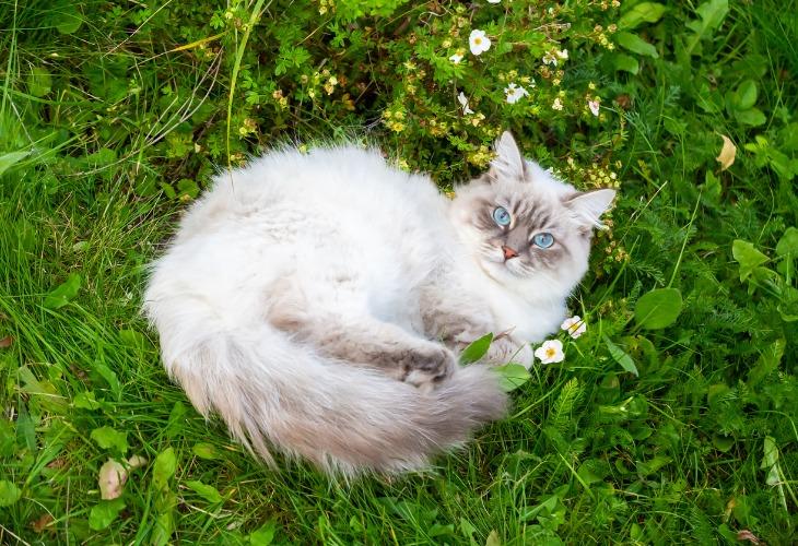 Race chat Sibérien Neva Masquerade allongé dans l'herbe.
