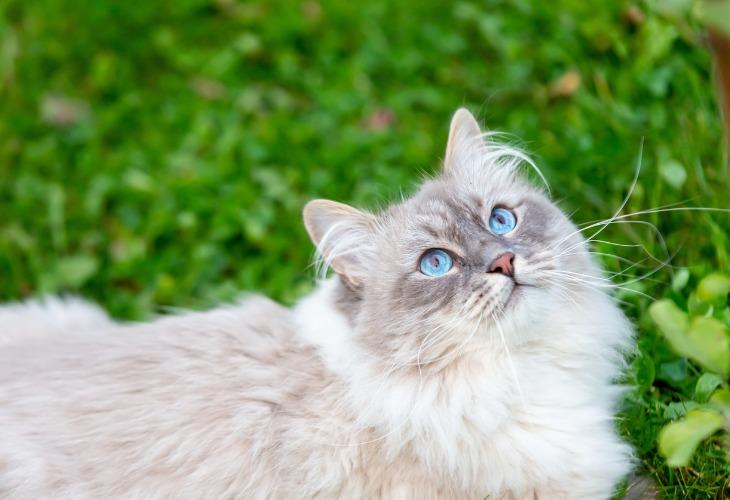 Chat Sibérien aux yeux bleus Neva Masquerade.