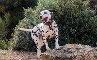Chien Dalmatien joyeux en extérieur.