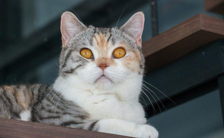 Portrait de chat American wirehair aux yeux cuivrés