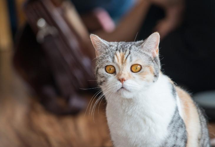 Portrait de chat de race American Wirehair avec un pelage tricolores