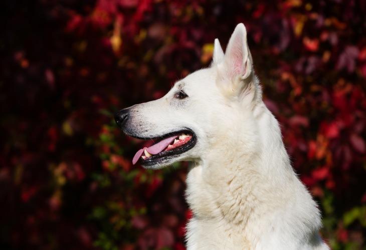 Portrait d'un chien de race Berger blanc suisse.