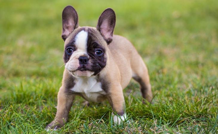 Le Bouledogue français est une race de chien française