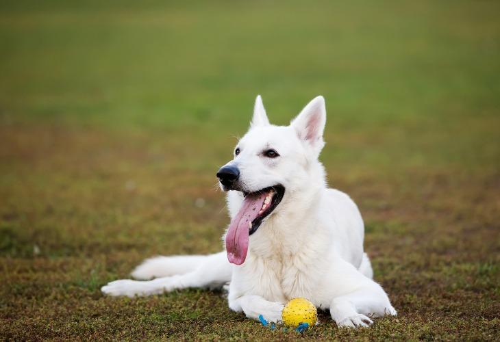 Chien de race Berger blanc suisse allongé dans l'herbe avec une balle.