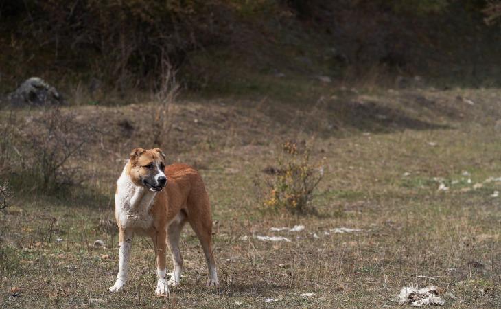 Race de chien de grande taille : le Berger d'Anatolie