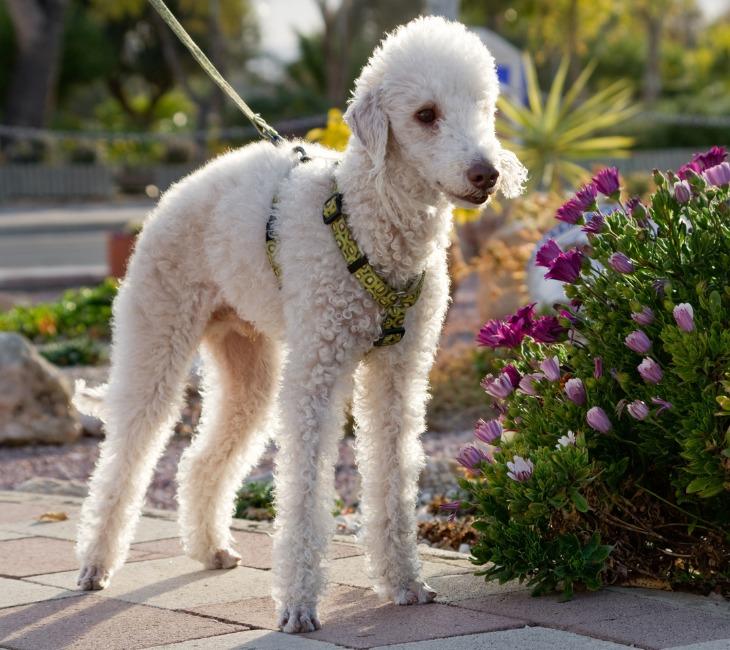 Chien de race Bedlington Terrier en promenade.