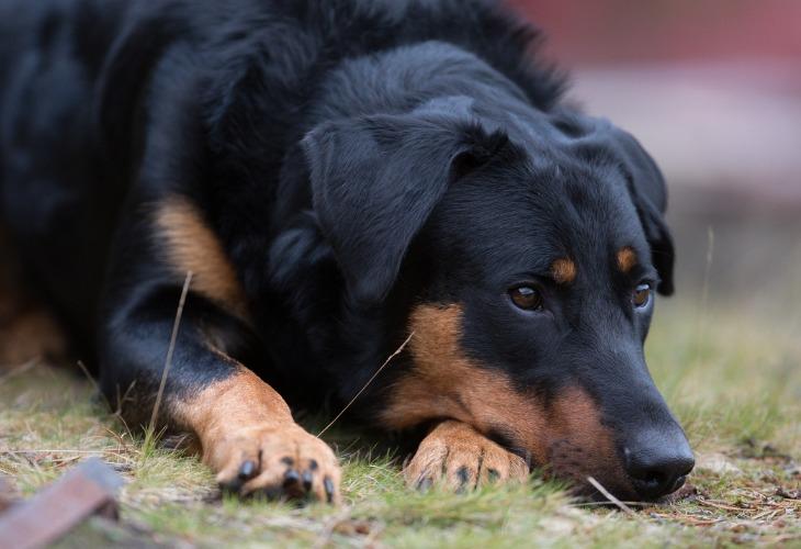 Chien Berger de beauce allongé dans l'herbe.