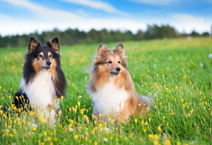 Deux chiens Bergers des Shetlands assis dans l'herbe.