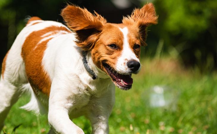 Epagneul Breton : races de chien françaises