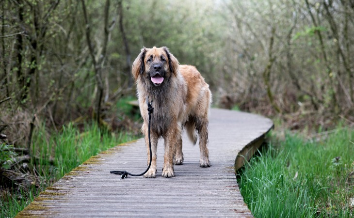 Race de chien de grande taille : le Leonberger