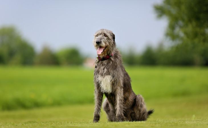 Race de chien de grande taille : le Lévrier Irlandais