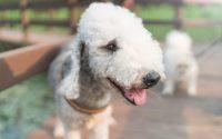 Portrait d'un chien Bedlington Terrier.