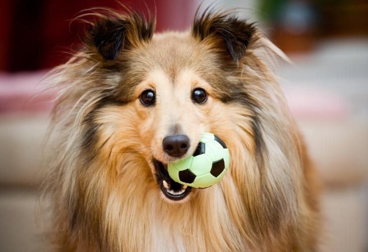 Chien Berger des Shetlands avec une balle jouet dans la gueule.