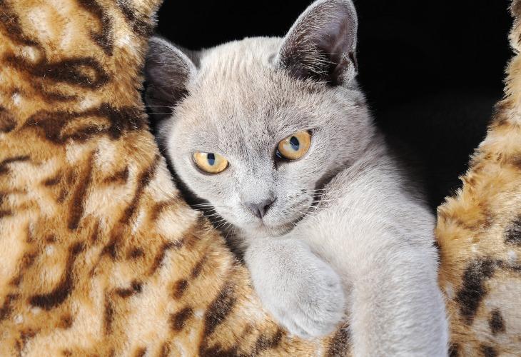 Chat Burmese à la robe bleue et aux yeux dorés.