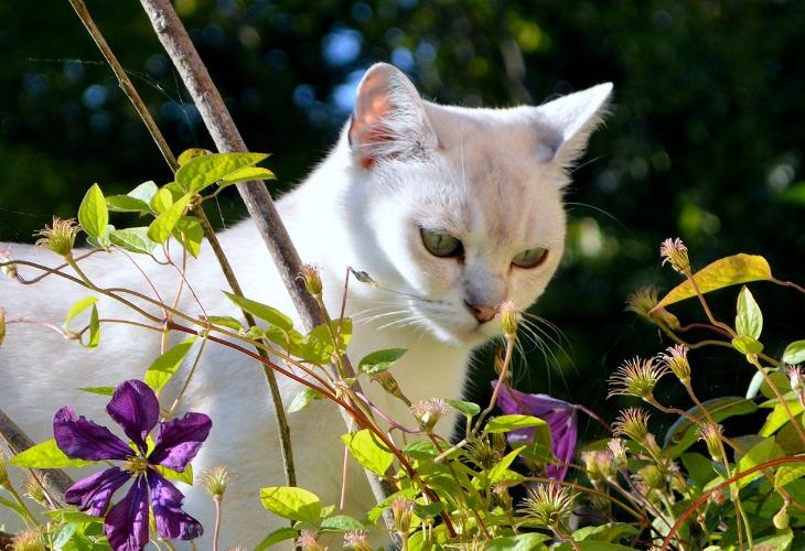 Burmilla regarde les jolies fleurs