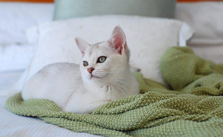 Burmilla posé sur le lit