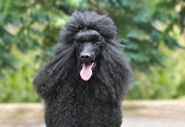 Portrait d'un Caniche noir à la langue pendue.