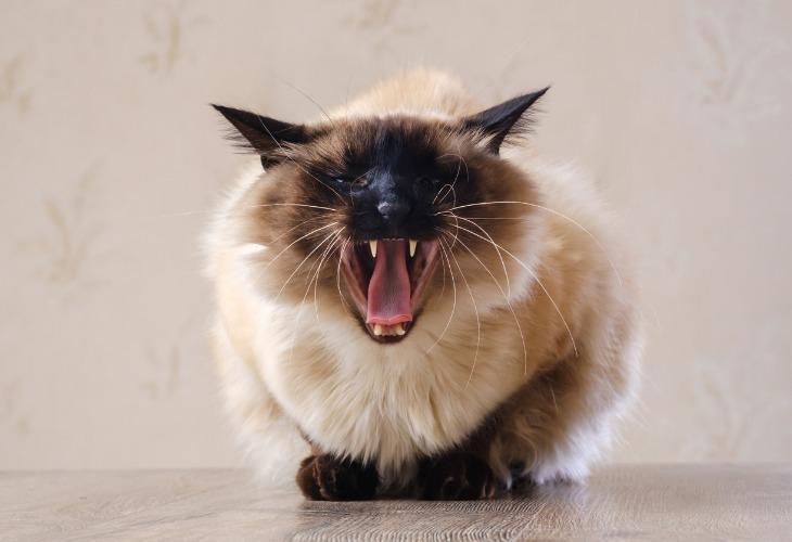 Le chat en colère montre son caractère.