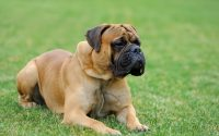 Chien Mastiff allongé dans l'herbe