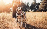 Deux chiens Dalmatien en promenade.