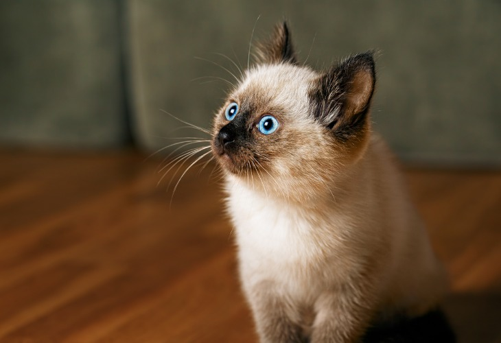 Chat Balinais avec ses yeux bleus traversant.