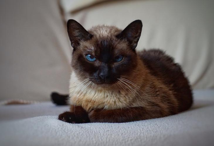 Le chat Balinais avec un splendide regard