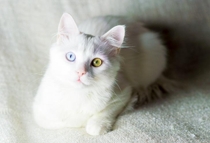 Angora Turc aux yeux de différentes couleurs.
