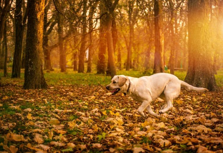 Chien Labrador qui court en forêt.