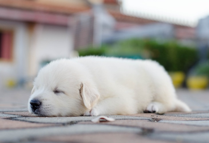 Jeune chiot Labrador endormi dehors.