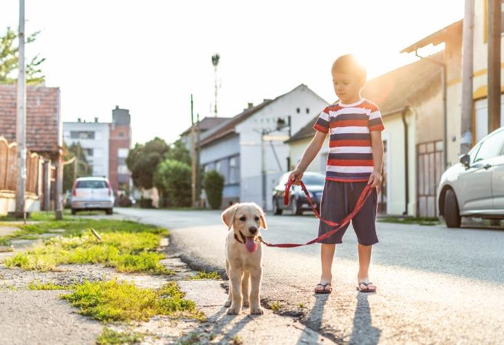 Enfant qui promène son chiot Labrador.