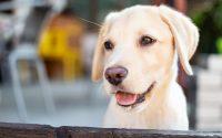 Portrait d'un chiot Labrador en extérieur.