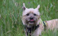 Chien Carin Terrier dans l'herbe