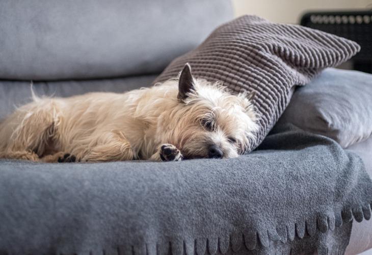 Cairn Terrier dormant sur le canapé.