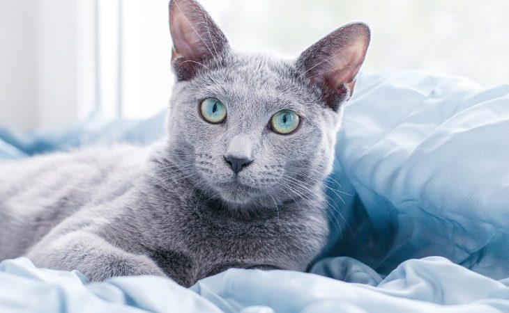 Chat Bleu russe allongé sur le lit